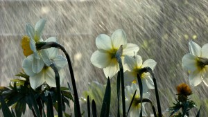 spring-rain-and-narcissuses