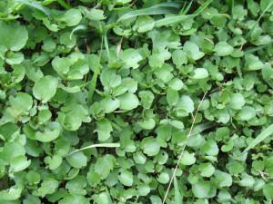 watercress (1)